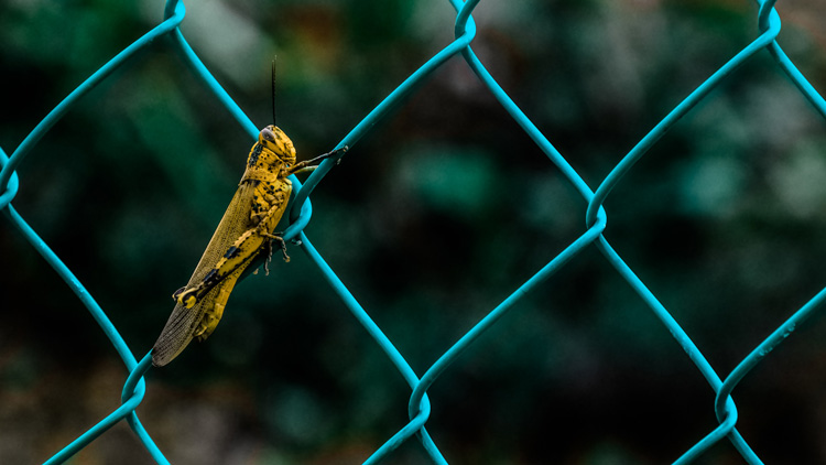 cricket on a fence