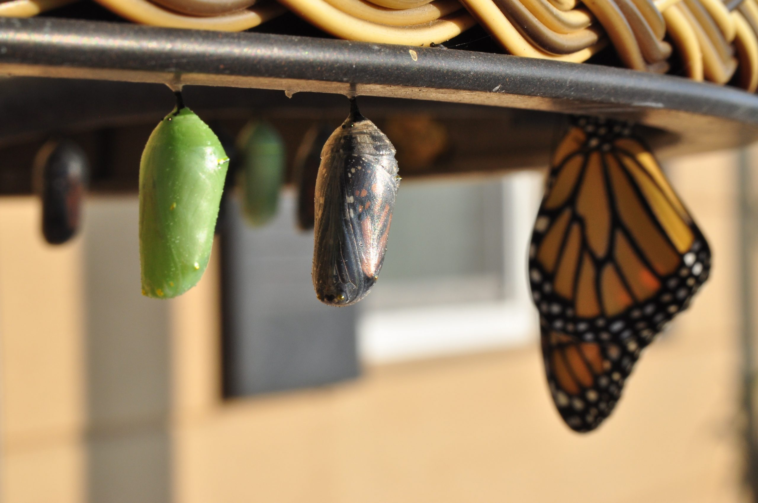 Butterfly pupae at different stages of maturity