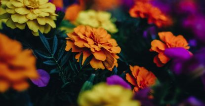 Carnations of various colors